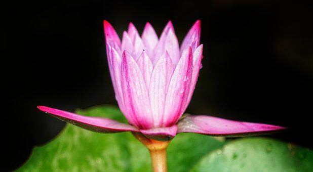 Waterlily, Red, Pink, Lily, Flower, Flora, Nature, Leaf