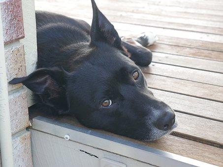 Dog, Animal, Portrait, Cute, Pet, Canine, Kelpie, Doggy