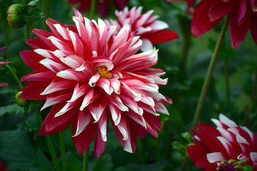 Chrysanthemum, Flower, Red, White, Nature, Garden