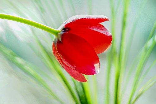 Tulip, Bright, Red, Solo, Individually, Grasses