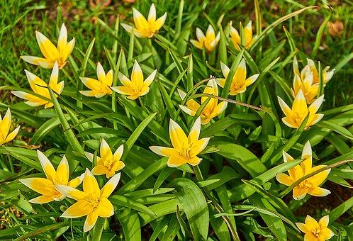 Tarda Tulip, Tulipa Tarda, Star-tulip, Tulipa, Tulip