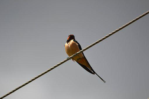 Swallow, Bird, Wires, Swallows, Fly