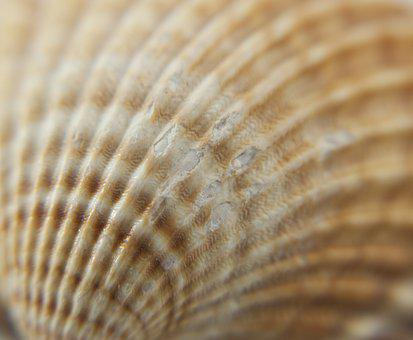 Seashell, Scallop, The Structure Of The, Crustaceans