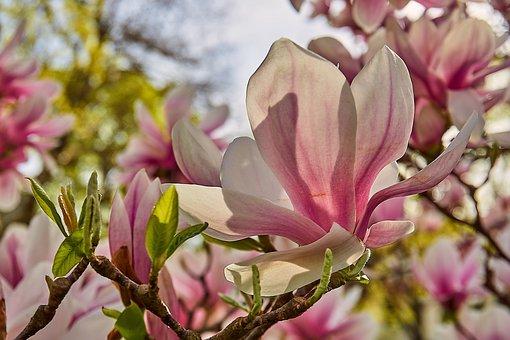 Tulip Magnolia, Magnolia × Soulangeana, Magnolia