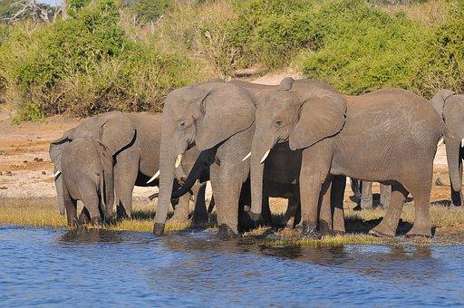 Elephant, Wildlife, Mammal, Safari, Barbaric, Water