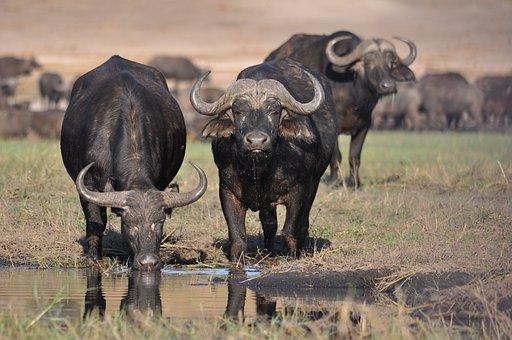 Mammal, Animal, Wildlife, Safari, Cattle, Bull, Buffalo