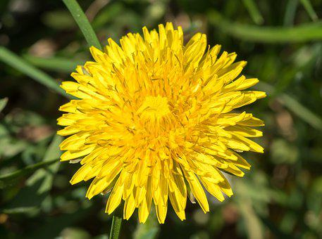 Dandelion, Yellow Flower, Sonchus Oleraceus, Spring