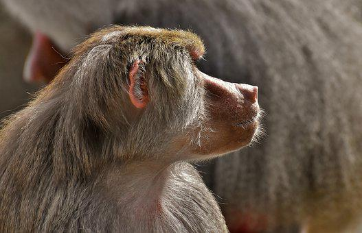 Coat Baboons, Ape, Primates, Animals, Zoo, Zoo Animal