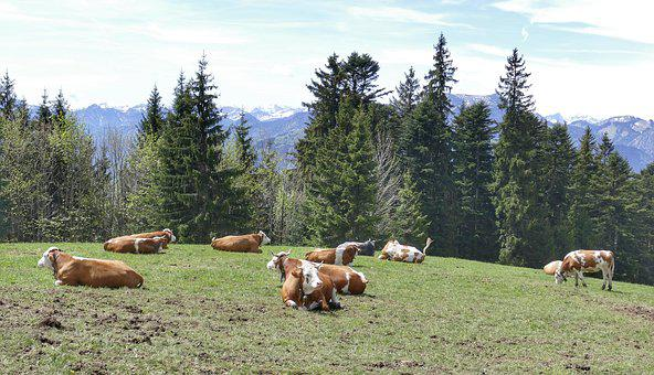 Meadow, Grass, Cow, Agriculture, Nature, Graze