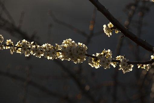 Plant, Outbreak, Branch, Tree, Flowers, Backlight