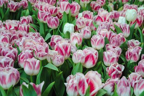 Tulip, Flower, Plant, Floral, Nature, Garden, Leaf