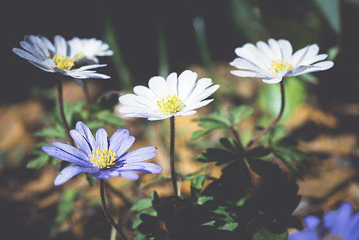 Anemone, Balkan Anemone, Forest Flower, Forest, Blue