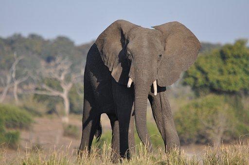 Wildlife, Mammal, Grass, Safari, Nature, Elephant