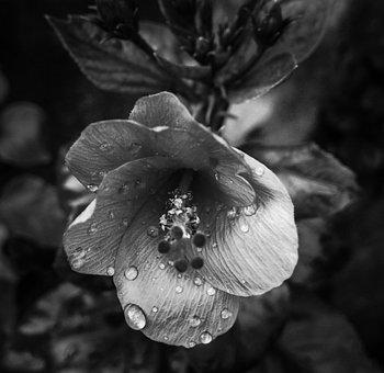Flower, Monochrome, Leaf, Garden, Petal, Flora, Rain