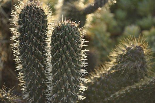Cactaceae, Thorny, More Acute, Nature