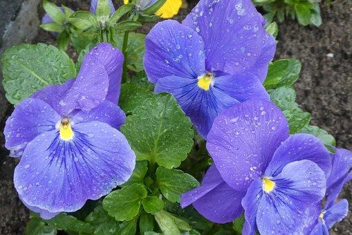 Winterviooltje, Raindrops, Blue Flowers, Nature, Plant