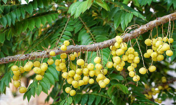 Dimocarpus Longan, Logan, Tree, Fruit, Nature, Food