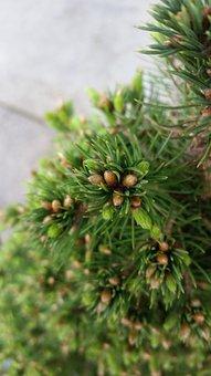 Tree, Needle, Pine, Evergreen, Nature, Cone, Fir