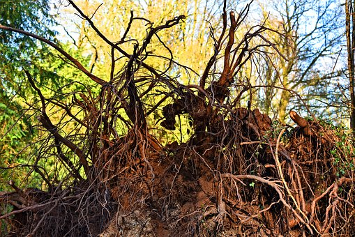 Root, Tree, Tree Roots, Uprooted, Clod, Root Ball