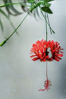 Japanese Lanterns, Spider Hibiscus, Flora, Nature
