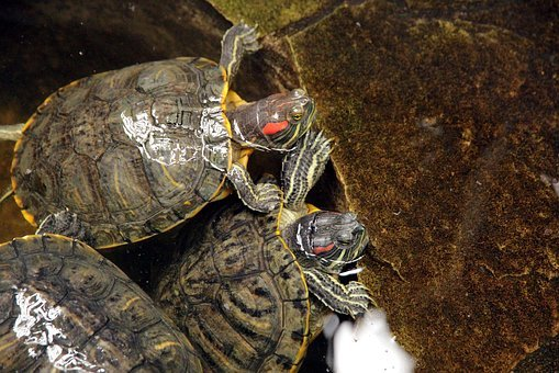 Turtle, Trachemys Scripta, The Red-eared Terrapins