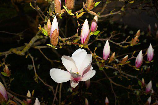 Magnolia, Tree, Flourishing Tree, Flowers, Bud
