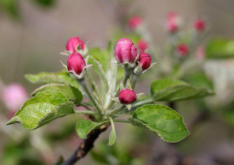 Flowers, Pink, March, Tree, Fruit, Casey