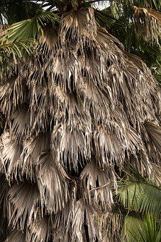 Palm, Fronds, Hanging, Washingtonia Palm, Tree