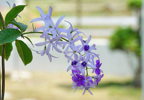 Petrea, Queen's Wreath, Flower, Climber, Vine, White