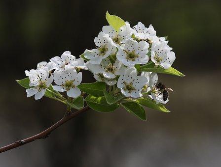 Flowers, White, Tree, Fruit, Casey, Spring, Flourished