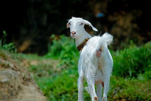 Nature, Grass, Animal, Outdoors, Goat, Domestic, Pet