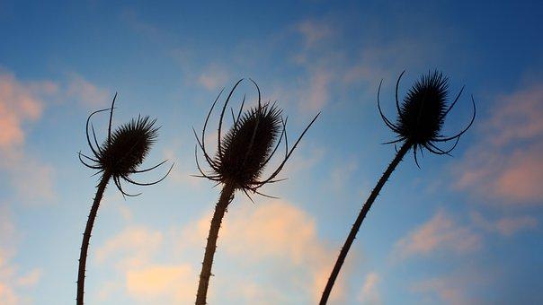 Field, Carding Thistles, Plant, Seeds, Summer, Autumn