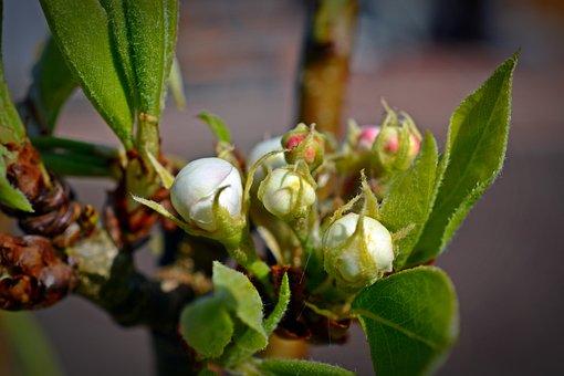 Pear, Blossom, Bloom, Bud, Leaf, Nature, Plant, Fruit
