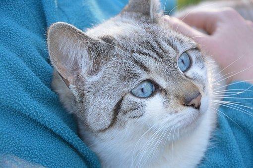Cat, Pussy Cloud Portrait Animal, Blue Eyes, Cute