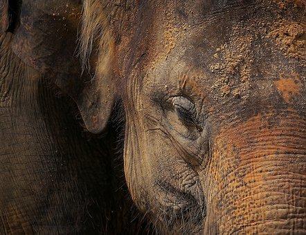Elephant, Elephant Skin, Portrait, Ruesseltier, Close