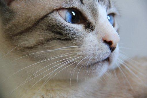 Cat, Portrait, Animalia, Mammals, Cute, Look, Eye, Fur