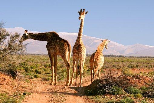 Giraffes, South Africa, Nature, Animal World, Desert