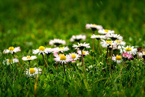 Nature, Flower, Meadow, Field, Grass, Plant, Summer