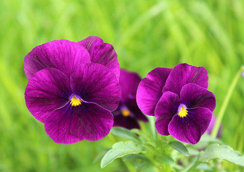 Pansies, Two, Flower, Nature, Plant, Grass, Green