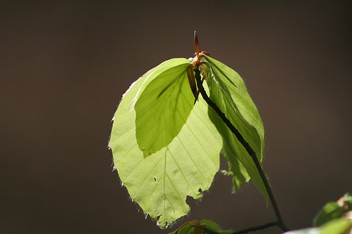 Leaf, Nature, Plant, Tree, Growth, Beech