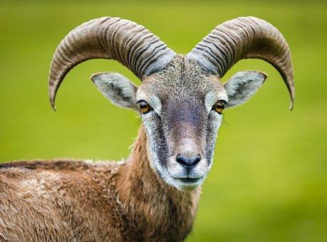 Nature, Animal, Goat, Animal World, Horned, Capricorn