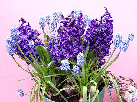 Flower, Plant, Floral, Bouquet, Hyacinth, Nature