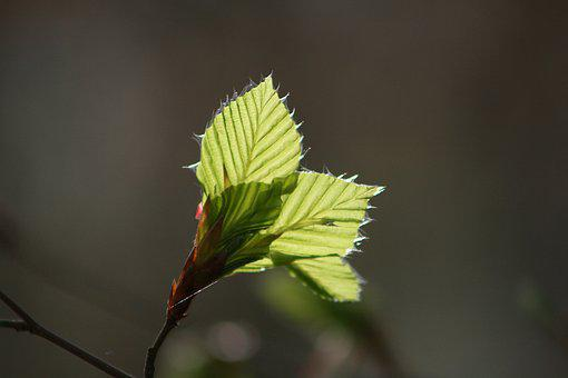 Nature, Leaf, Plant, Tree, Growth, Beech