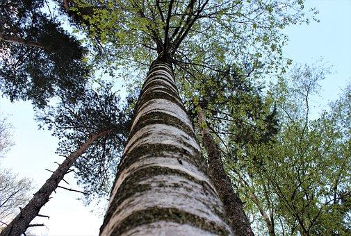 Birch, Tree, Wood, Nature, Leaf, Large, Close, Green