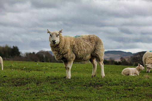 Sheep, Mammal, Grass, Farm, Agriculture, Livestock