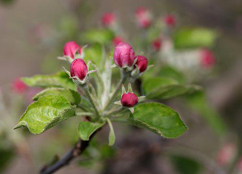 Flowers, Pink, March, Tree, Fruit, Casey, Spring