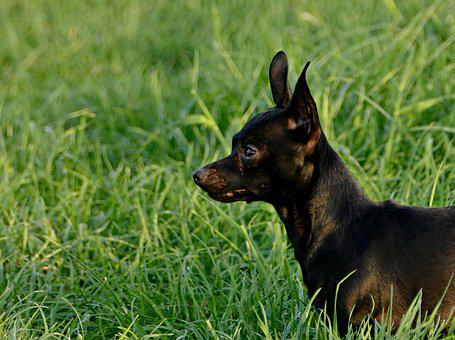 Dog, Black, Outdoors, The Head Of The, Grass, Meadow