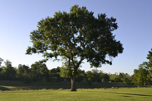 Tree, Nature, Landscape, Grass, Outdoors, Summer, Wood