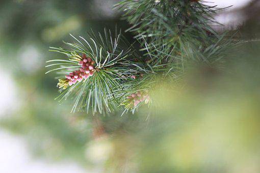 Nature, Wood, Outdoors, Plants, Pine, Pine Cone, Leaf