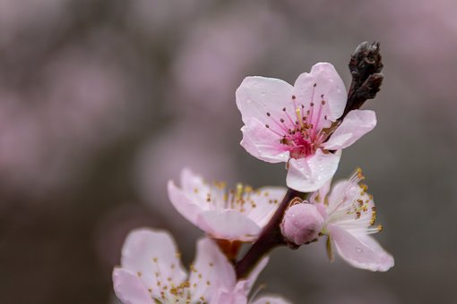Flower, Spring, Peach, Nature, Plant, Tree, Blooming